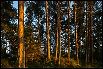 Pine trees near Iceberg Point at sunset, Lopez Island. San Juan Islands National Monument, Washington ( color)