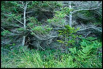 Ferns and conifers, San Juan Islands National Monument, Lopez Island. Washington ( color)