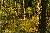 Forest with late light, San Juan Islands National Monument, Lopez Island. Washington ( color)