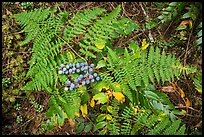 Close-up of ferns and berries, San Juan Islands National Monument, Lopez Island. Washington ( color)