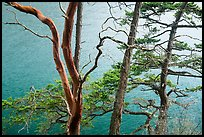 Madrone and pine trees, Watmough Bay, San Juan Islands National Monument, Lopez Island. Washington ( color)