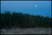 Tall reeds and moon, Hanford Reach National Monument. Washington ( color)