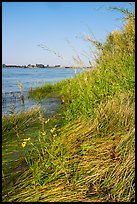 Grasses and sunflowers on Columbia River shore, Hanford Reach National Monument. Washington ( color)