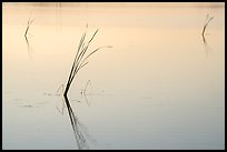 Isolated reeds at sunrise, Wahluke Ponds, Hanford Reach National Monument. Washington ( color)
