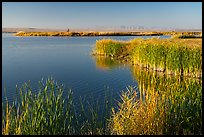 Reeds, Wahluke Ponds, Hanford Reach National Monument. Washington ( color)