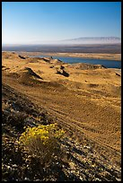 Rabbitbrush in bloom and Columbia River, Hanford Reach National Monument. Washington ( color)