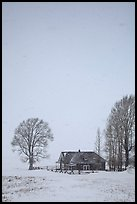 Historic house and bare trees in snow blizzard. Jackson, Wyoming, USA ( color)