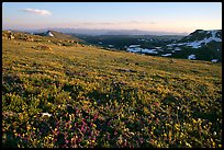 Carpet of alpine flowers, Beartooth Mountains, Shoshone National Forest. Wyoming, USA