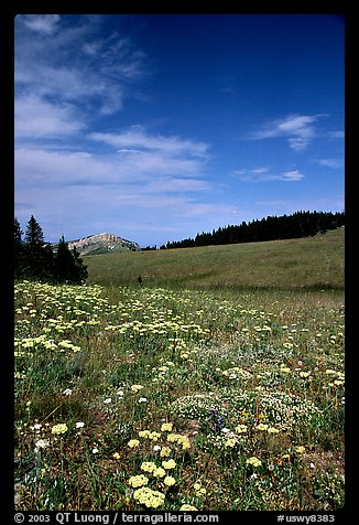 Wildflowers in alpine meadow, Bighorn Mountains, Bighorn National Forest. Wyoming, USA