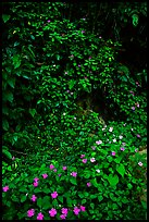 Flowers in rain forest undercanopy, El Yunque, Carribean National Forest. Puerto Rico (color)