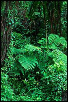 Ferns in rain forest undercanopy, El Yunque, Carribean National Forest. Puerto Rico (color)