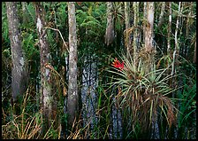 Bromeliads and cypress growing in swamp, Corkscrew Swamp. Corkscrew Swamp, Florida, USA ( color)