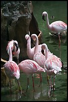 Pink flamingos, Animal Kingdom Theme Park, Walt Disney World. Orlando, Florida, USA (color)