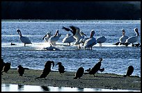 Pelicans splashing, smaller birds standing,  Ding Darling NWR, Sanibel Island. Florida, USA (color)