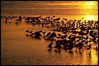 Large flock of birds at sunset, Ding Darling NWR. Florida, USA ( color)