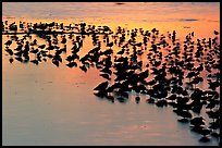 Flock of birds with sunset colors reflected, Ding Darling NWR, Sanibel Island. Florida, USA