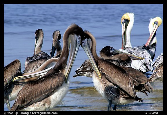 Pelicans, Sanibel Island. Florida, USA