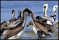 Pelicans, Sanibel Island. Florida, USA (color)