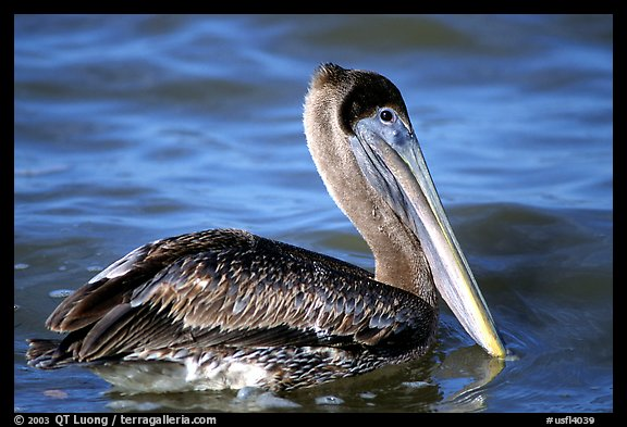 Pelican floating on water, Sanibel Island. Florida, USA