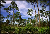 Pine forest with palmetto undergrowth. Corkscrew Swamp, Florida, USA ( color)
