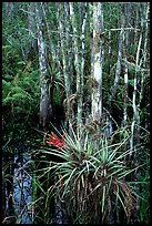 Bromeliads and cypress. Corkscrew Swamp, Florida, USA (color)