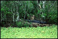 Pictures of Corkscrew Swamp