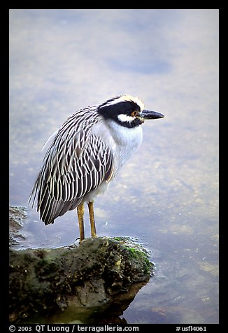 Yellow-crowned night heron, Ding Darling NWR, Sanibel Island. Florida, USA