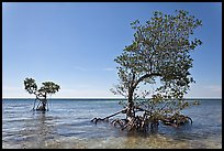 Two red mangrove trees, West Summerland Key. The Keys, Florida, USA ( color)