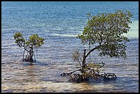 Mangroves and coral, West Summerland Key. The Keys, Florida, USA (color)