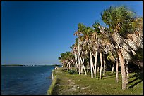 Dense grove of Palm trees, Fort De Soto Park. Florida, USA (color)