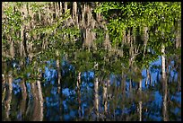 Bald Cypress and Spanish moss reflections, Big Cypress National Preserve. Florida, USA ( color)
