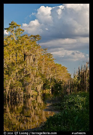 Bald Cypress and afternoon clouds, Big Cypress National Preserve. Florida, USA