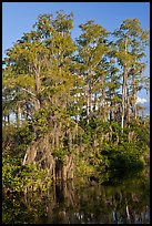 Bald Cypress with Spanish Moss near Tamiami Trail, Big Cypress National Preserve. Florida, USA ( color)