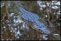 Alligator swimming in pond, Big Cypress National Preserve. Florida, USA ( color)