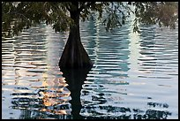 Cypress, reflections, and ripples, Lake Eola. Orlando, Florida, USA (color)
