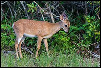 Key deer grazing at forest edge, Big Pine Key. The Keys, Florida, USA ( color)