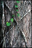 Strangler fig on tree trunk. Corkscrew Swamp, Florida, USA