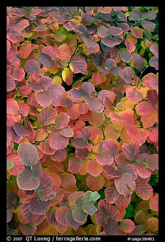 Shrub leaves in fall colors, Centenial Olympic Park. Atlanta, Georgia, USA