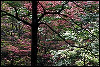 Pink and white trees  in bloom, Bernheim arboretum. Kentucky, USA