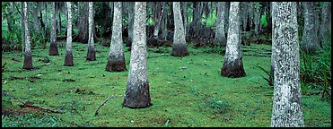 Swamp landscape with bald cypress. New Orleans, Louisiana, USA (Panoramic color)