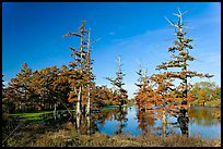 Pond and bald cypress in fall color. Louisiana, USA
