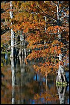 Bald cypress with needles in fall color. Louisiana, USA