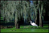 Great Egret and cypress covered with spanish moss, Lake Martin. Louisiana, USA