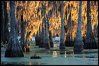 Bald Cypress covered with spanish moss, Lake Martin. Louisiana, USA (color)