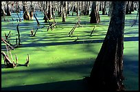 Bald Cypress growing out of the green waters of the swamp, Lake Martin. Louisiana, USA (color)