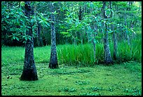 Bald cypress and swamp in spring, Barataria Preserve, Jacques Laffite Park. New Orleans, Louisiana, USA (color)