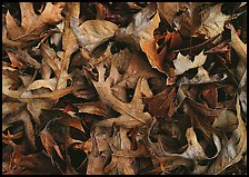 Fallen leaves close-up. Tennessee, USA ( color)