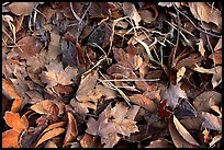 Fallen leaves with morning frost. Tennessee, USA (color)