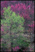 Redbud tree in bloom and tree leafing out. Virginia, USA
