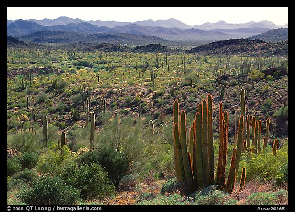 Cactus and Puerto Blanco Mountains. Organ Pipe Cactus  National Monument, Arizona, USA
